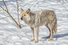 Grey Wolf Standing in Sun