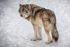 Grey Wolf Watching
