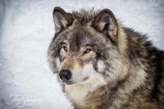 Grey Wolf Gaze