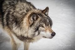 Grey Wolf Ready