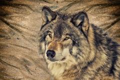 Artistic Grey Wolf