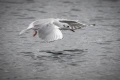 Bonaparte's Gull Landing