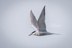 Caspian Tern Wings Up