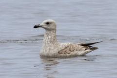 Floating Herring Gull