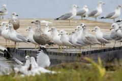 Mixed Gulls on Dock