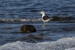 Greater Black Backed Gull at Wolf Island