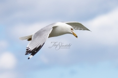Tipping Ring-Billed Gull