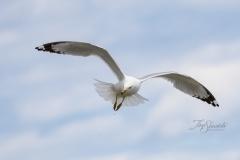 Flying Ring-Billed Gull