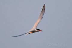 Caspian Tern in Golden Hour