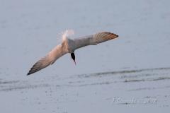 Caspian Tern Dive