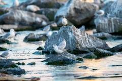 Gulls at Wellington Beach