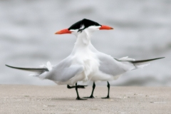 Common Tern Times Two