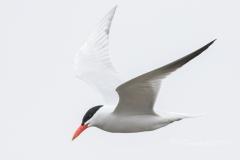 Caspian Tern on the Hunt