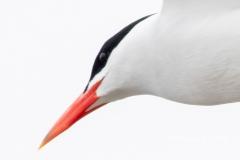 Portrait of a Caspian Tern