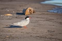 Common Tern at Presqui'le