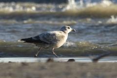 Herring Gull on Shore