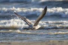 Herring Gull in Sunset