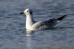 Bonaparte's Gull Floating