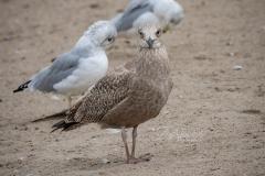 Herring Gull Staring