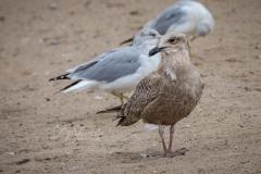 Herring Gull Chilling