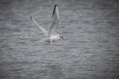 Bonaparte's Gull Fishing