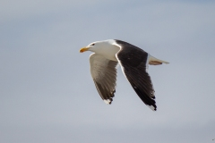 Greater Black Backed Gull Wings Down