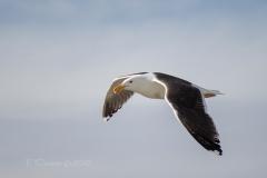 Greater Black Backed Gull  Flying