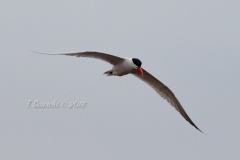 Caspian Tern Soaring Above