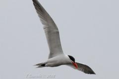 Caspian Tern Soaring