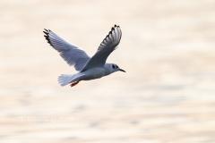 Bonaparte's Gull Flying in Golden Hour