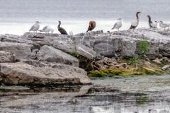 Mixed Species Belleville Island