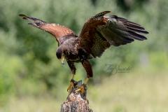 Landing Harris Hawk