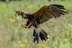 Harris Hawk Landing