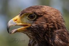 Portrait of a Harris Hawk
