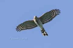 Soaring Sharp Shinned Hawk