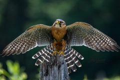 Aplomado Falcon Wings Out