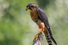 Aplomado Falcon Posing