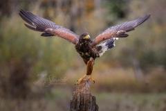 Balancing Harris Hawk
