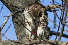 Red-Tailed Hawk Eating