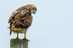Red-Tailed Hawk Poser