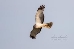 Northern Harrier Soaring