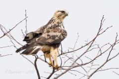 Rough-Legged Hawk in Tree