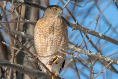 Sharp Shinned Hawk with Lunch