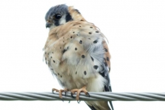 American Kestral on a Wire