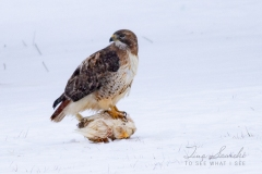 Red-Tailed Hawk Guarding Lunch