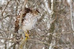Cooper's Hawk Ruffled