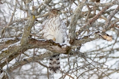 Cooper's Hawk in the Branches