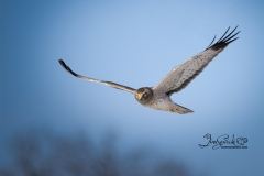 Northern Harrier Hunting for Mice