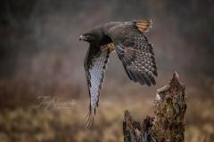 Harlan Hawk Take Off