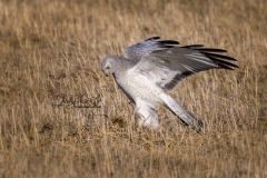 Male Northern Harrier Wings Up